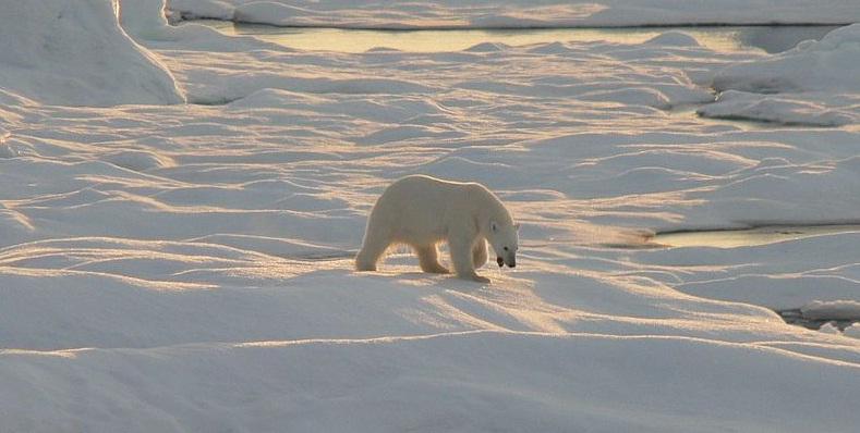 Eisbären Alaska