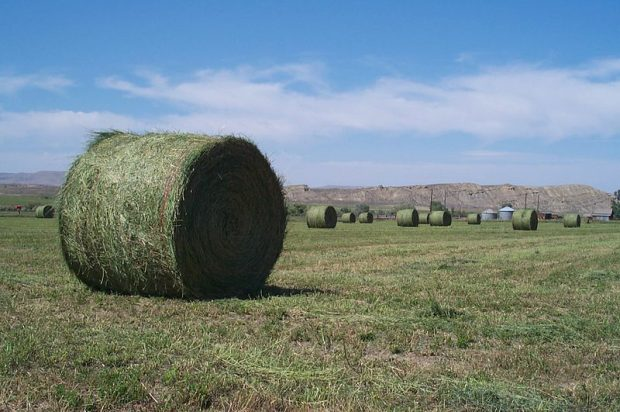 Ein Luzernenfeld wurde abgeerntet und die Heuballen liegen bereit