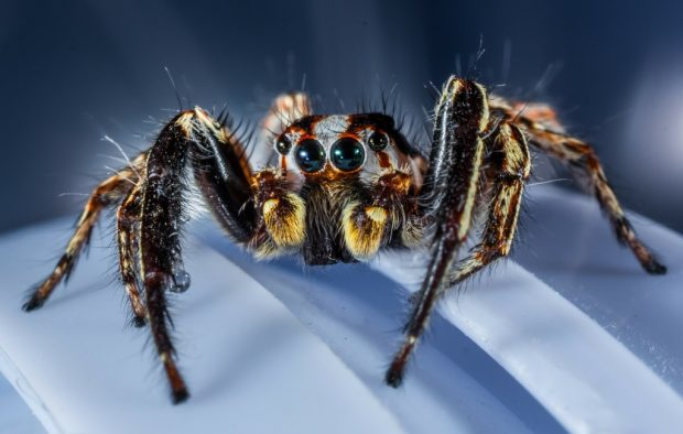 jumping-spider-300447_1920