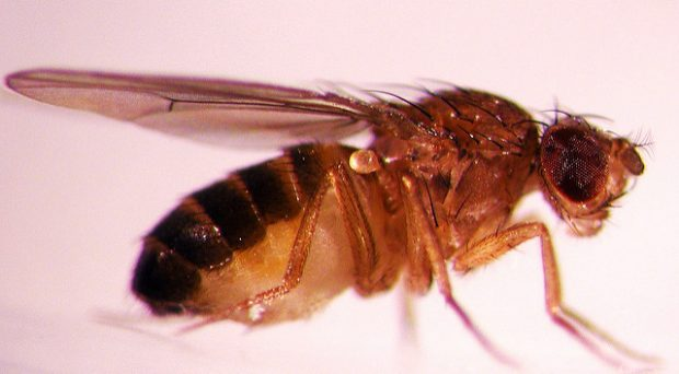 Drosophila melanogaster , Oregon State University, Flickr, CC BY-SA 2.0
