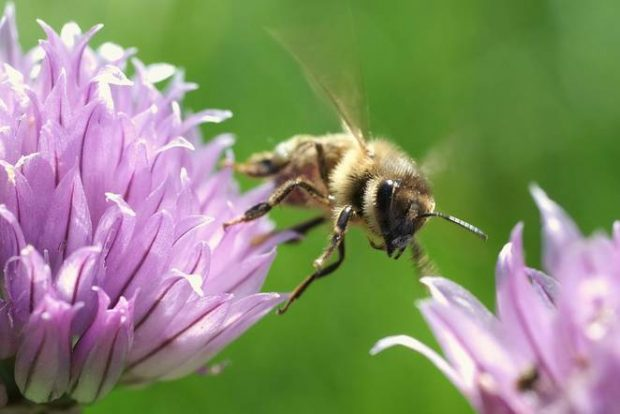 Eine Honigbiene entfernt sich von einer Blüte