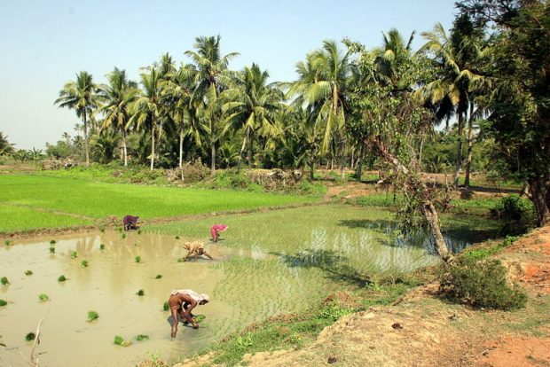Indische Dorfbewohner arbeiten auf einem Reisfeld